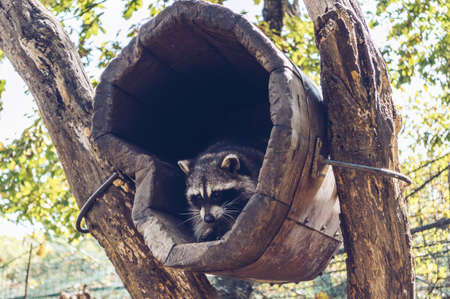 view from below on cute raccoon pulling his paws  inside wooden house