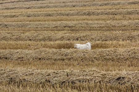 White pointy in the field Stock Photo