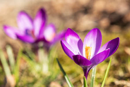Crocuses in purple