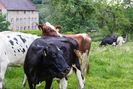 Three Holstein cows in the pasture