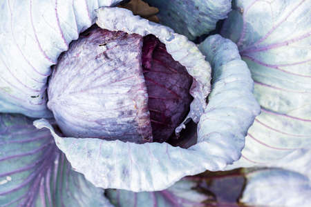 Fresh red cabbage from above