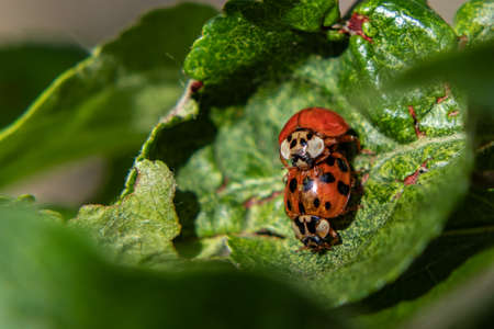 A couple of ladybirds between leaves