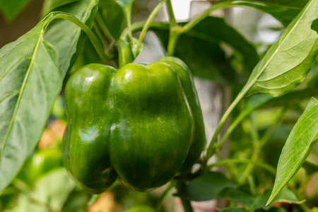 Green pepper in the garden Stok Fotoğraf - 130135215