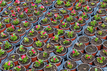 Young geraniums in the nursery