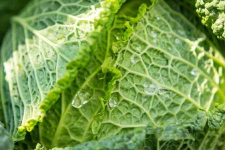 Fresh savoy cabbage in the garden