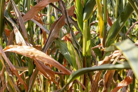 Dry corn on the field Reklamní fotografie