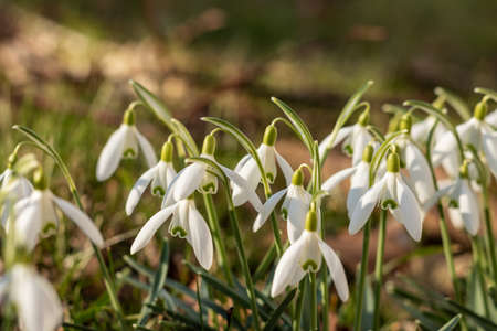 Snowdrops in a meadow at spring time