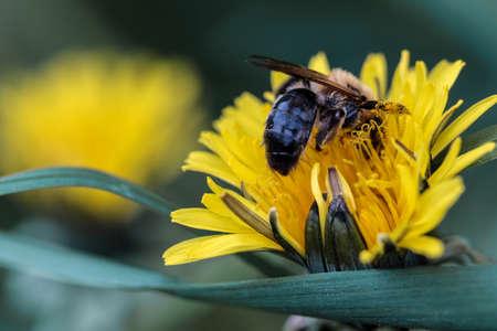 Bee on dandelion Фото со стока