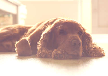Cute dog - English Cocker Spaniel resting on the sunny part of the floor.
