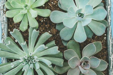 Top view of various types of succulent plant pot- echeveria, sempervivum, flowering house plants in wooden box. Plant leave pattern. 写真素材