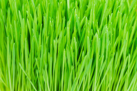 Closeup nature view of green grass with copy space. Ecology, nature, fresh wallpaper concept.