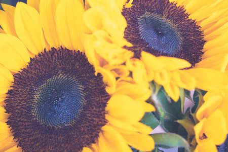 Sunflowers close up. Bright yellow sunflowers. Sunflower background. Yellow color signifies vitality and intelligence. Symbol of happiness. Selective focus 写真素材