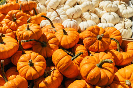 Fresh healthy bio pumpkins, type of winter squash, on farmer agricultural market at autumn. Healthy food. Halloween or Thanksgiving holiday decorations