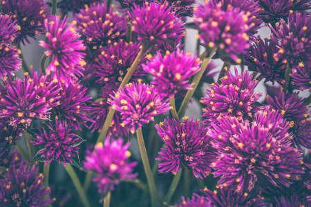 Lilac autumn flowers, soft focus. Bright autumn flower background. Purple flowers closeup 写真素材