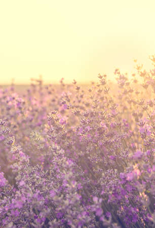 Sunset over lavender field in Bulgaria. Summer nature background.