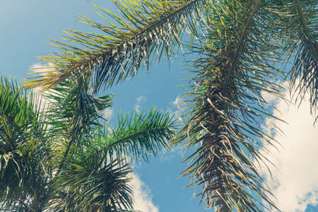 Palm coconut tree on blue sky background with copy space, vintage style, tropical coast 写真素材