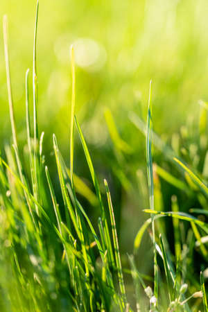Vibrant green grass meadow closeup with bright sunlight, selective focus and natural bokeh.