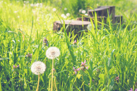 Air dandelions on a green field. Summer natural background. Rays of the sun through the grass.
