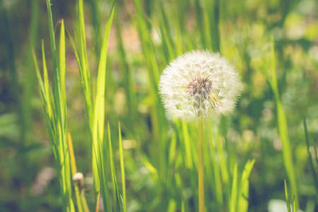 Air dandelion on a green field. Summer natural background. Rays of the sun through the grass.