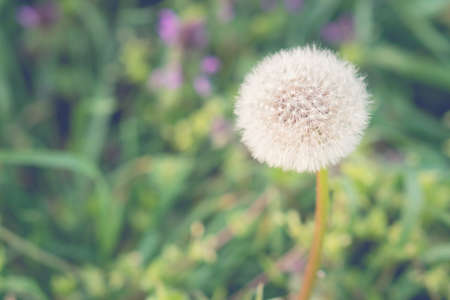 Air dandelion on a green field. Summer natural background.