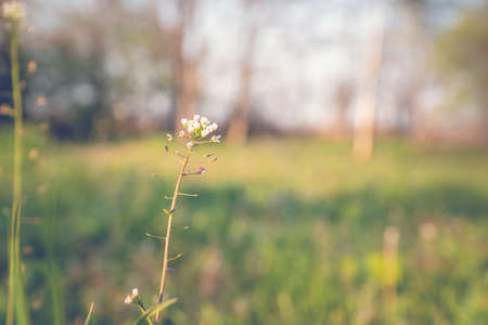 Close up of Capsella bursa-pastoris blooming in spring field. Summer Spring nature background.