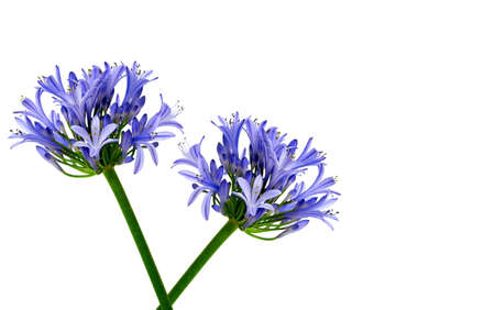 Mirrored Flowers - two exquisite, identical lavender blue flowers, mirrored.