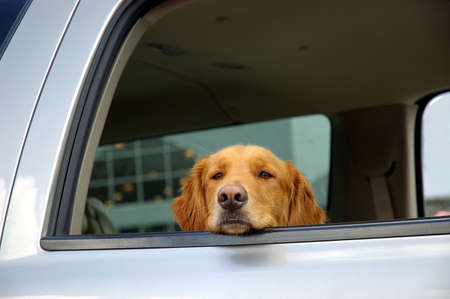 Dog - A bored, sad faced dog waits in the car in a mall parking lot with his head leaning on the open window sill while his owner is inside a store shopping.