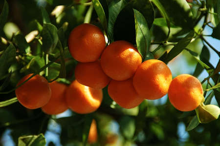 Calamondin Citrus Oranges, native to China, (X Citrofortunella mitis), a showy ornamental, makes excellent marmalade. The juice is used to bleach ink stains from fabrics and also as a body deoderant, a hair shampoo, freckle bleach, insect bite itch reduce Imagens