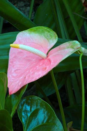 Pastel pink anthurium lily (anthurium andraeanum).
