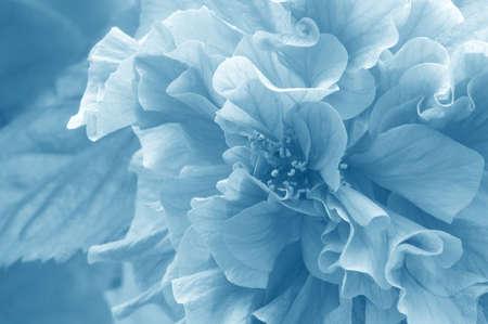 Blue tinted azalea flower background.