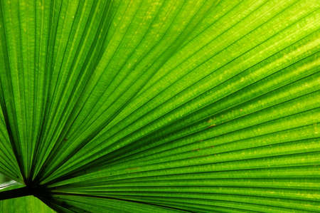 Fan Palm (Licuala elegans) leaf.