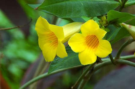 Yellow Trumpet Vine (bignoniaceae campsis radicans flava)