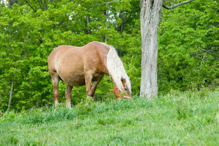 A beautiful horse feeding in the pasture in spring. Stock Photo