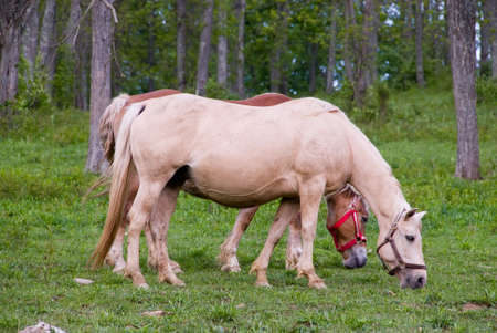 Beautiful horses feeding in the pasture in spring. Stock Photo