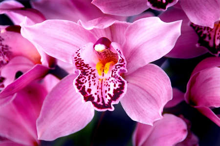 Fucshia Orchids - Stunning fucshia pink dendrobium orchids  Reklamní fotografie