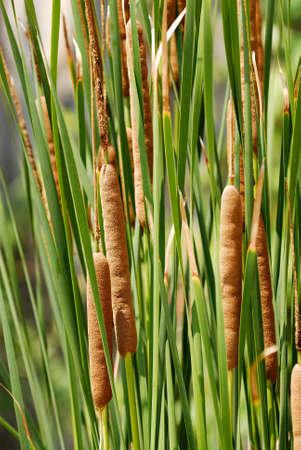 ガマ スタンド - ヒメガマ ラティフォリア augustifolia。 写真素材