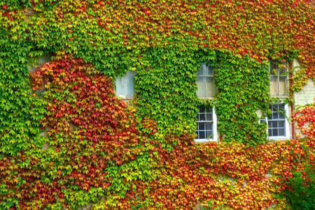 A brick home covered in colorful fall ivy vine leaves with only the windows showing.