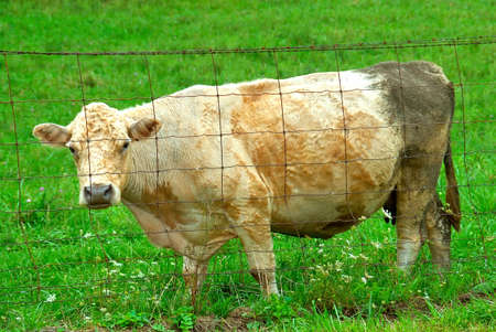 Female cow in the pasture behind a wire fence.
