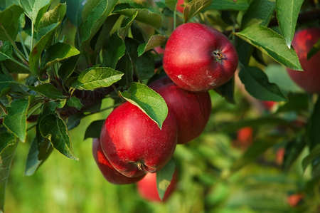 Michigan apples on the tree in autumn. Imagens