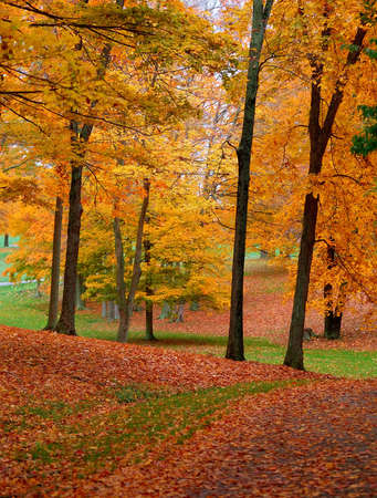 The beauty of autumn while walking on the golf course on a rainy October afternoon.  Orange and yellow leaves contrast against the dark tree trunks and the grass is covered in a blanket of reddish brown. Imagens