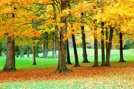 Golden Leaves - Golden leaves cover the greens of a golf course in the autumn.  Imagens