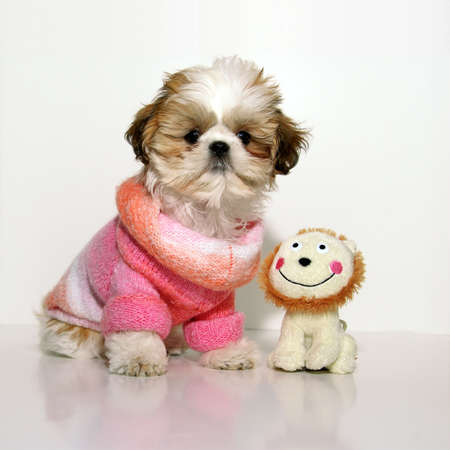 All Dressed Up And Nowhere To Go - A 12 week old Shih Tzu puppy wearing a fashionably chic pink knit sweater, standing next to her stuffed toy on a white background.