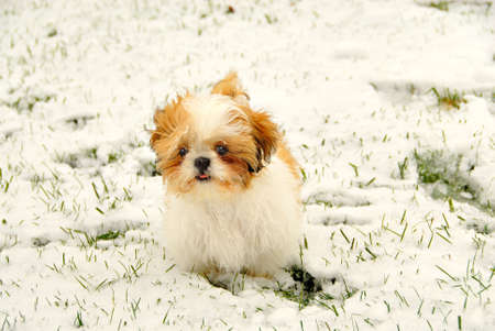 Shih Tzu Playing In The Snow