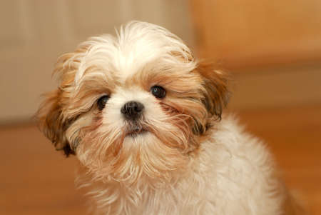 shih: A shih tzu puppy with a worried expression on her cute furry face.