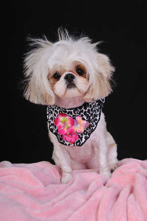 A Shih Tzu Dog with wild hair, having a bad hair day. Stock Photo - 4541017