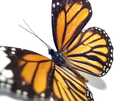 metamorphose: Pretty butterfly (Monarch) over a white background