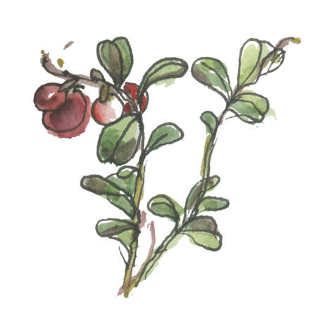 whortleberry: Vector watercolor cowberry. Illustration isolated on white background.