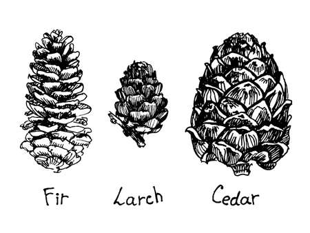 Pine cone set. Botanical hand drawn illustration