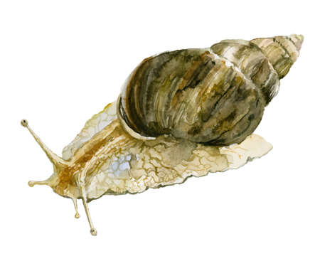 Watercolor snail illustration isolated on white background
