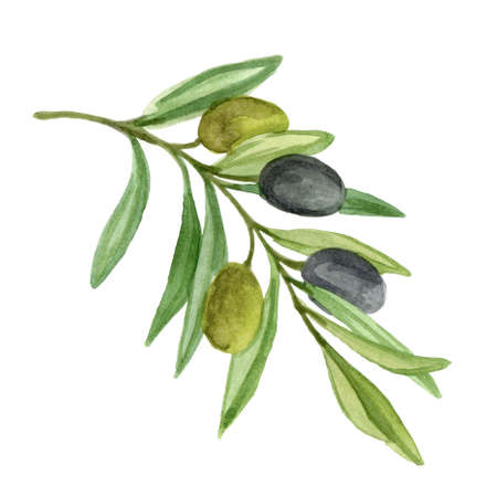 Olive branch with berries. Watercolor illustration isolated on white background Stock Photo